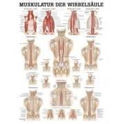 Anatomia człowieka MIĘŚNIE KRĘGOSŁUPA poster 50x70cm Rudiger Anatomie - 1 | klubfitness.pl