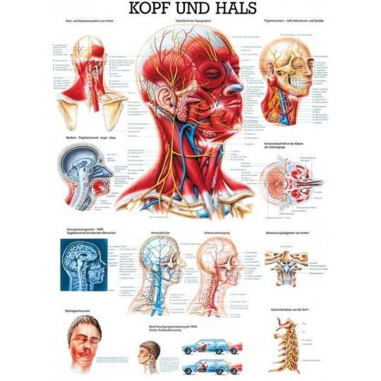 Anatomia człowieka MIĘŚNIE GŁOWY I SZYI poster 70 x 100 cm,producent: Rudiger Anatomie, zdjecie photo: 1 | online shop klubfitne