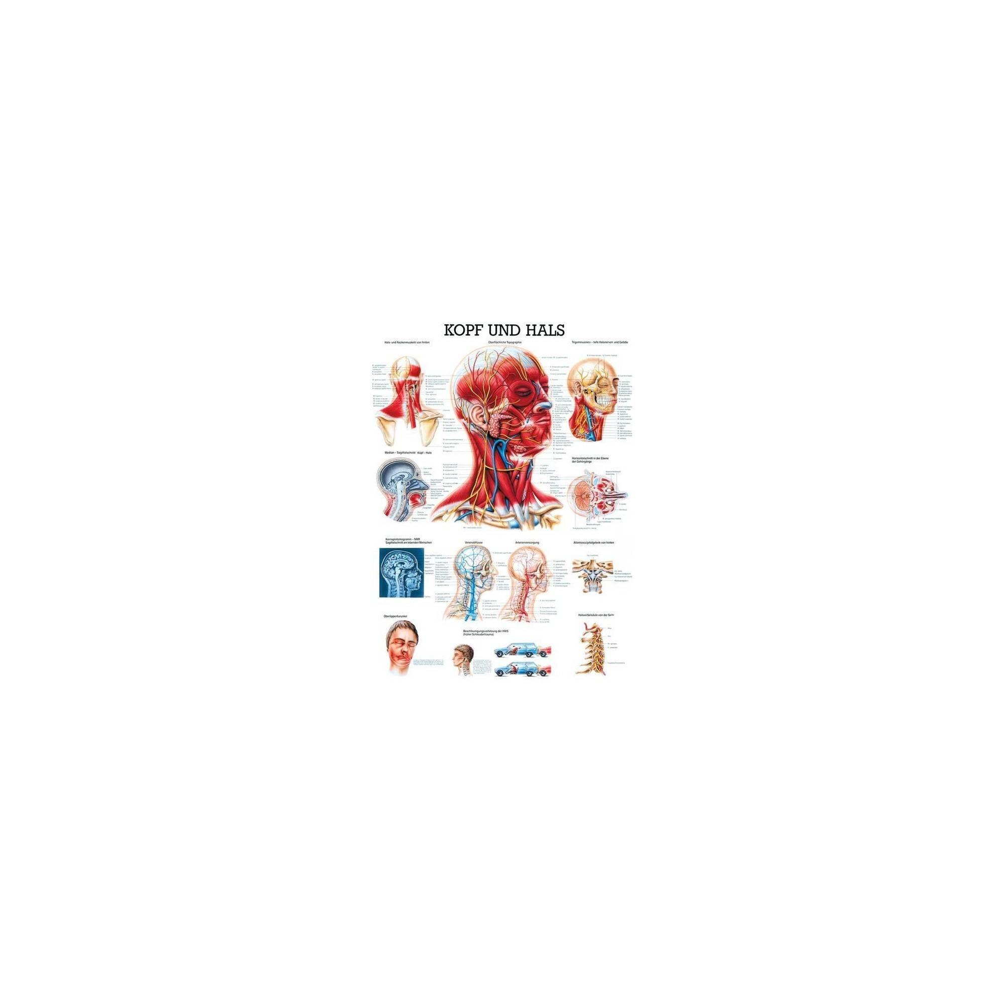 0b2d6ea2f52217 Anatomia człowieka MIĘŚNIE GŁOWY I SZYI poster 70 x 100 cm,producent:  Rudiger Anatomie