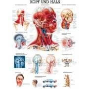 Anatomia człowieka MIĘŚNIE GŁOWY I SZYI poster 70 x 100 cm Rudiger Anatomie - 1 | klubfitness.pl