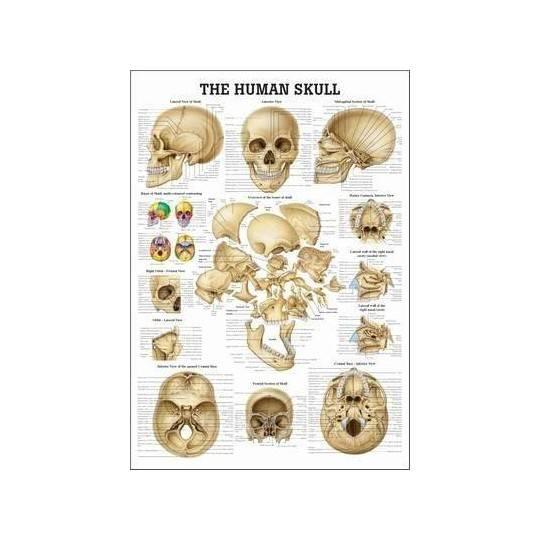 Anatomia człowieka CZASZKA CZŁOWIEKA poster 70 x 100 cm Rudiger Anatomie - 1 | klubfitness.pl