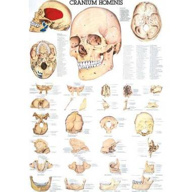 Anatomia człowieka CZASZKA CZŁOWIEKA CRANIUM HOMINIS poster 70 x 100 cm,producent: Rudiger Anatomie, zdjecie photo: 1 | online s