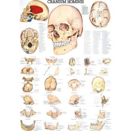 Anatomia człowieka CZASZKA CZŁOWIEKA CRANIUM HOMINIS poster 70 x 100 cm,producent: RUDIGER ANATOMIE, photo: 1