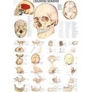 Anatomia człowieka CZASZKA CZŁOWIEKA CRANIUM HOMINIS poster 70 x 100 cm,producent: Rudiger Anatomie, zdjecie photo: 1 | klubfitn
