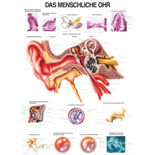 Anatomia człowieka UCHO CZŁOWIEKA poster 70x100 cm,producent: Rudiger Anatomie, zdjecie photo: 1 | online shop klubfitness.pl |