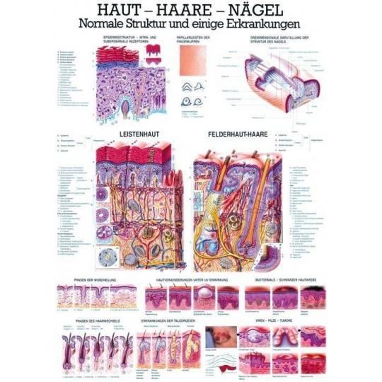 Anatomia człowieka SKÓRA - WŁOSY - PAZNOKCIE poster 70 x 100 cm,producent: Rudiger Anatomie, zdjecie photo: 1   online shop klub