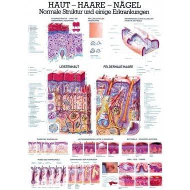 Anatomia człowieka SKÓRA - WŁOSY - PAZNOKCIE poster 70 x 100 cm,producent: RUDIGER ANATOMIE, photo: 1
