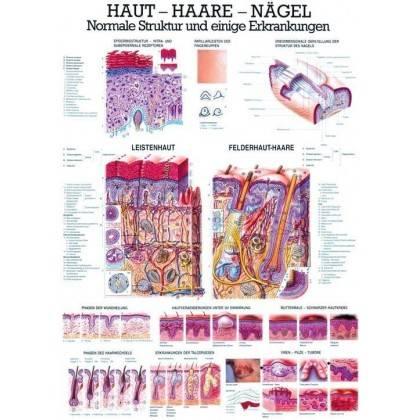 Anatomia człowieka SKÓRA - WŁOSY - PAZNOKCIE poster 70 x 100 cm Rudiger Anatomie - 1   klubfitness.pl