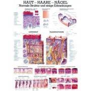 Anatomia człowieka SKÓRA - WŁOSY - PAZNOKCIE poster 70 x 100 cm Rudiger Anatomie - 1 | klubfitness.pl