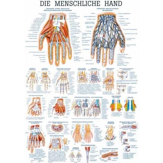Anatomia człowieka DŁOŃ CZŁOWIEKA poster 70 x 100 cm,producent: RUDIGER ANATOMIE, photo: 1
