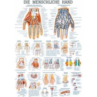 Anatomia człowieka DŁOŃ CZŁOWIEKA poster 70 x 100 cm,producent: Rudiger Anatomie, zdjecie photo: 1   online shop klubfitness.pl