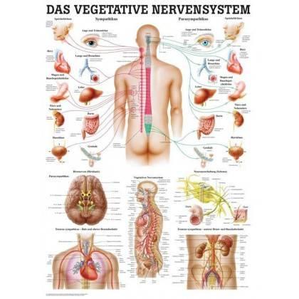 Anatomia człowieka WEGETATYWNY UKŁAD NERWOWY poster 70 x 100 cm Rudiger Anatomie - 1 | klubfitness.pl