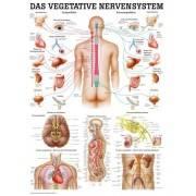 Anatomia człowieka WEGETATYWNY UKŁAD NERWOWY poster 70 x 100 cm,producent: Rudiger Anatomie, zdjecie photo: 1 | online shop klub