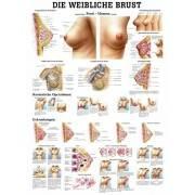 Anatomia człowieka PIERŚ KOBIETY poster 70x100 cm,producent: Rudiger Anatomie, zdjecie photo: 1 | online shop klubfitness.pl | s