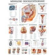 Anatomia człowieka NARZĄD ROZRODCZY MĘŻCZYZNY poster 70 x 100 cm,producent: Rudiger Anatomie, zdjecie photo: 1 | online shop klu