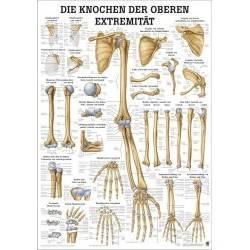 Anatomia człowieka KOŚCI KOŃCZYNY GÓRNEJ CZŁOWIEKA poster 50x70cm Rudiger Anatomie - 1 | klubfitness.pl