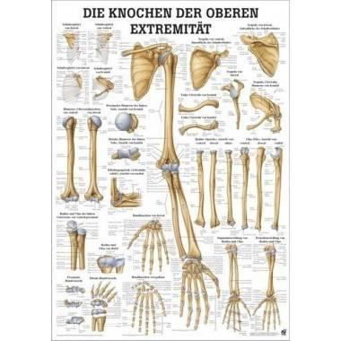 Anatomia człowieka KOŚCI KOŃCZYNY GÓRNEJ CZŁOWIEKA poster 50x70cm,producent: RUDIGER ANATOMIE, photo: 1