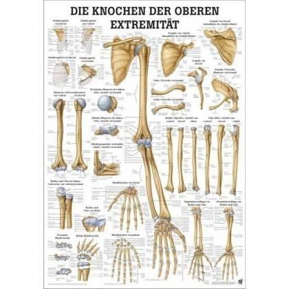 Anatomia człowieka KOŚCI KOŃCZYNY GÓRNEJ CZŁOWIEKA poster 50x70cm Rudiger Anatomie - 1   klubfitness.pl