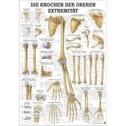 Anatomia człowieka KOŚCI KOŃCZYNY GÓRNEJ CZŁOWIEKA poster 50x70cm,producent: Rudiger Anatomie, zdjecie photo: 1 | klubfitness.pl