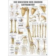 Anatomia człowieka KOŚCI KOŃCZYNY DOLNEJ CZŁOWIEKA poster 50 x 70 cm Rudiger Anatomie - 1 | klubfitness.pl | sprzęt sportowy spo