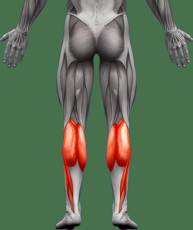Mięśnie kończyn dolnych   model 2