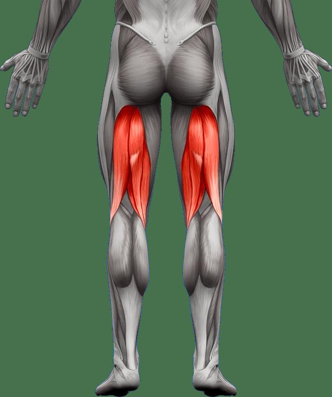 Mięśnie kończyn dolnych   model 1