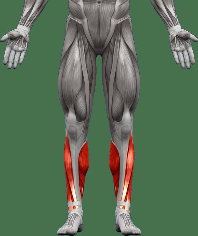 Mięśnie kończyn dolnych   model 3