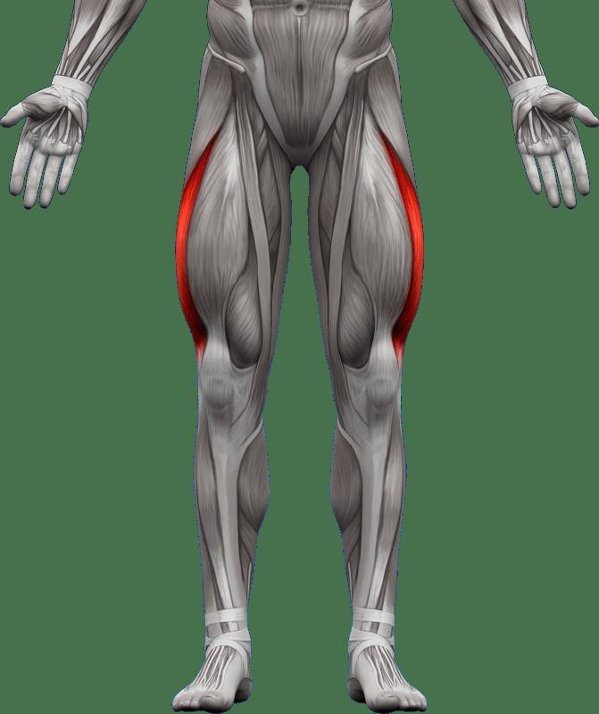 Mięśnie kończyn dolnych   model 6