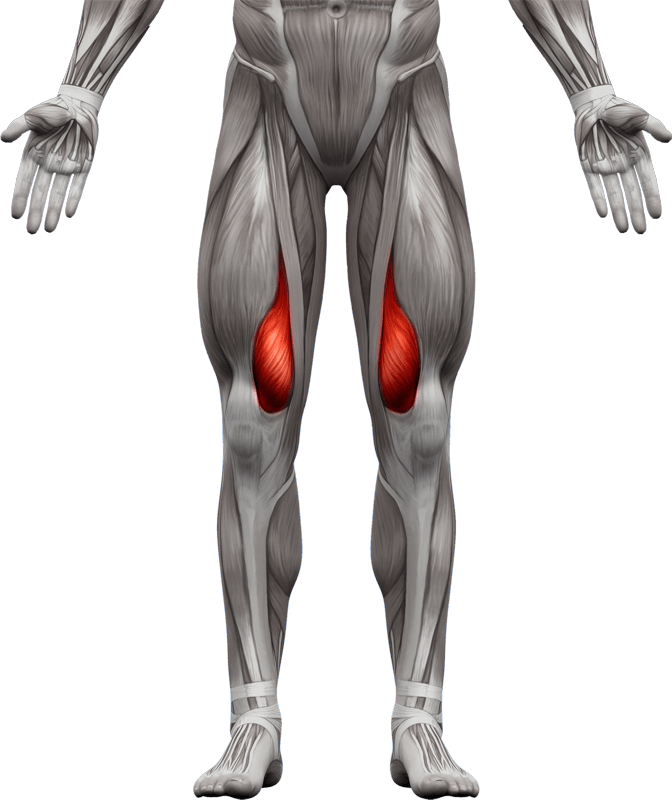 Mięśnie kończyn dolnych   model 8