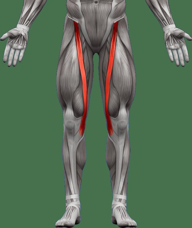 Mięśnie kończyn dolnych   model 5