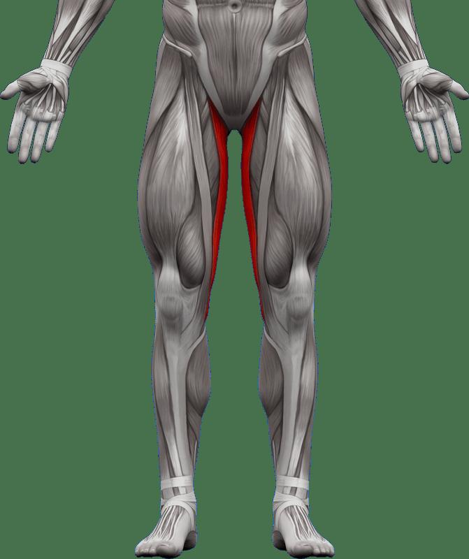 Mięśnie kończyn dolnych   model 7