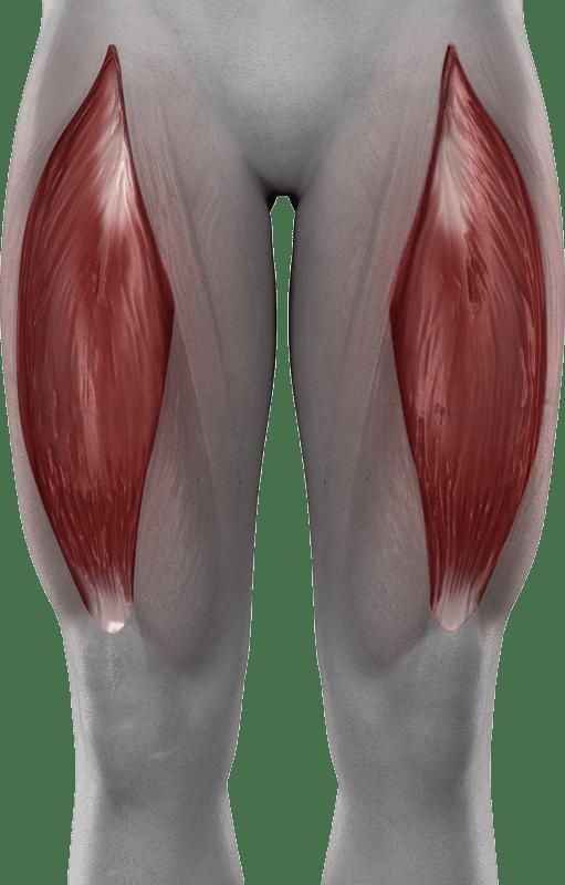 Mięśnie kończyn dolnych   model 4