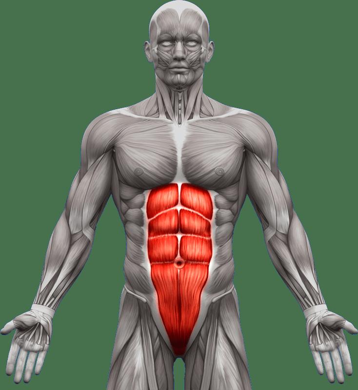 Mięśnie brzucha proste skośne | model 1