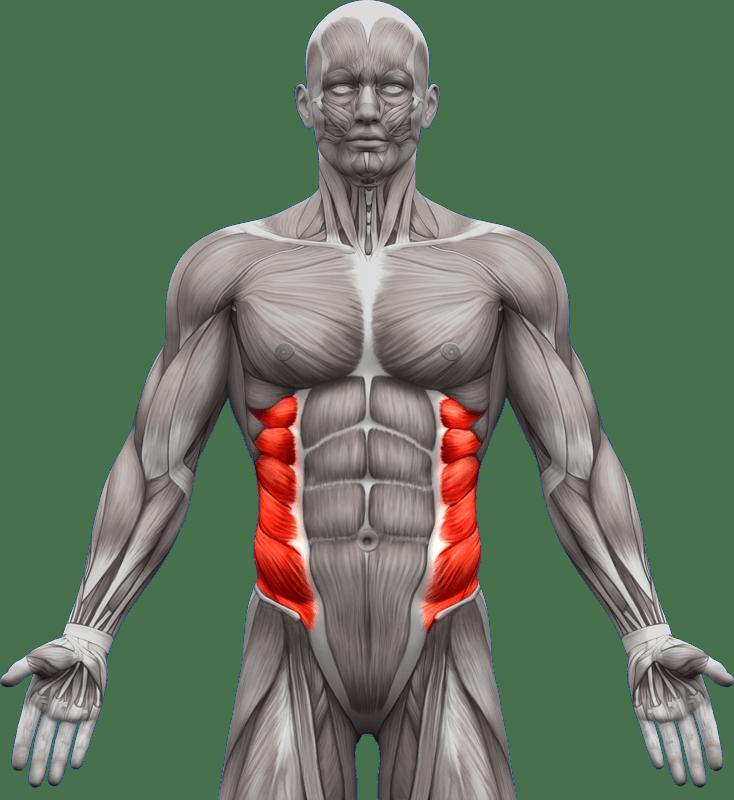 Mięśnie brzucha proste skośne | model 2