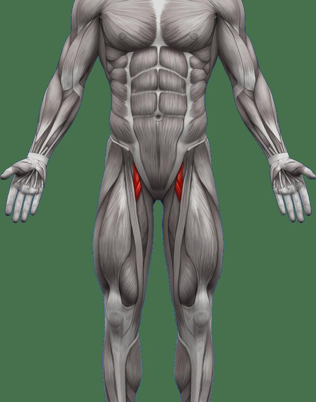 Mięśnie brzucha proste skośne | model 4