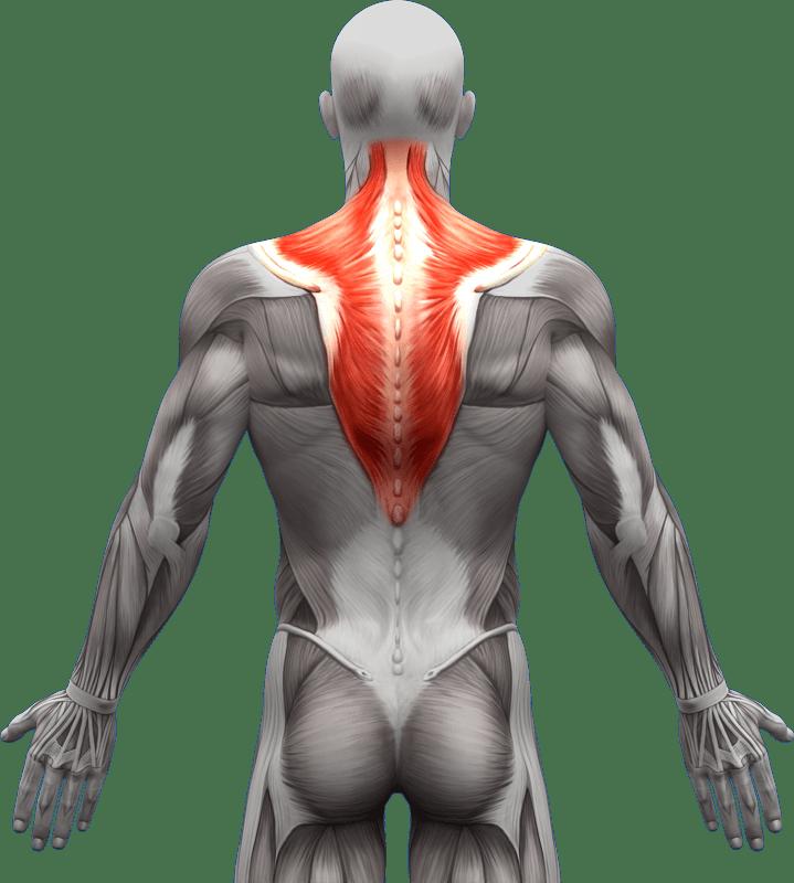 Mięśnie grzbietu | model 1