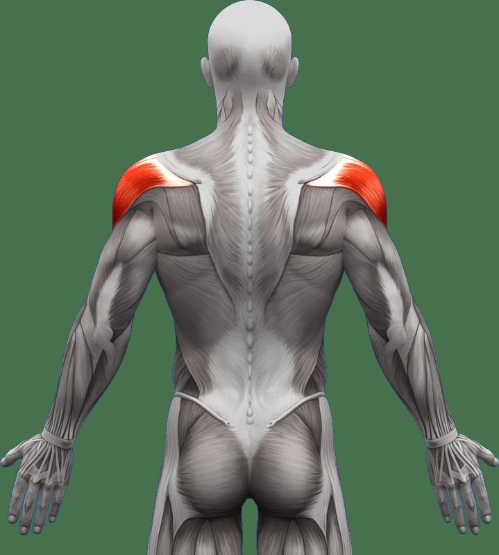 Mięśnie grzbietu | model 2