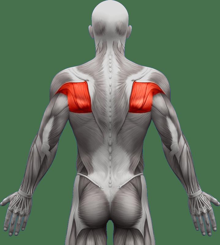 Mięśnie grzbietu | model 3