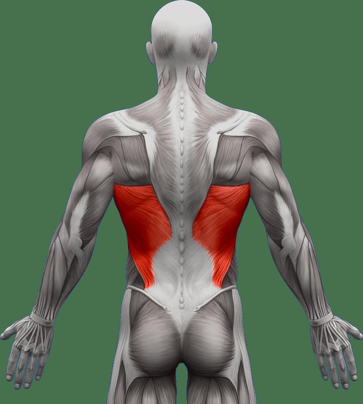 Mięśnie grzbietu | model 4