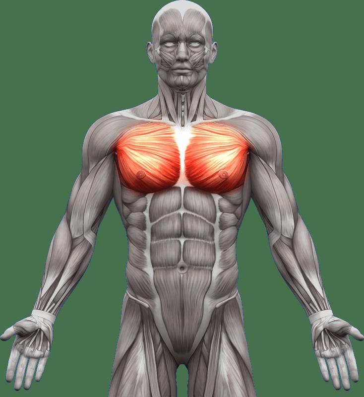 Mięśnie piersiowe | model 1
