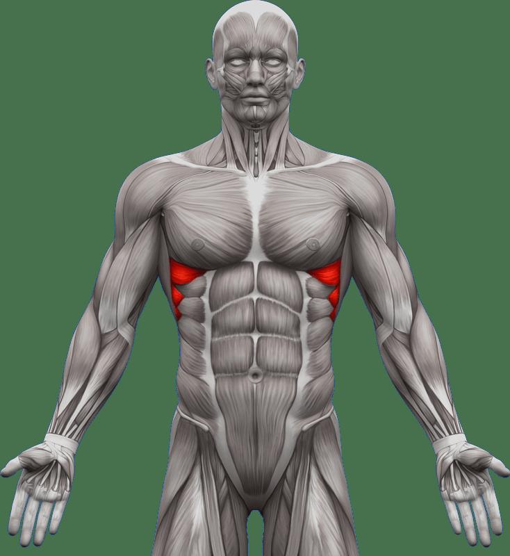 Mięśnie piersiowe | model 2