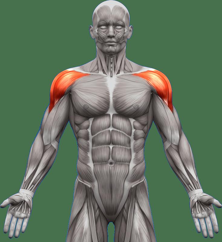 Mięśnie piersiowe | model 4