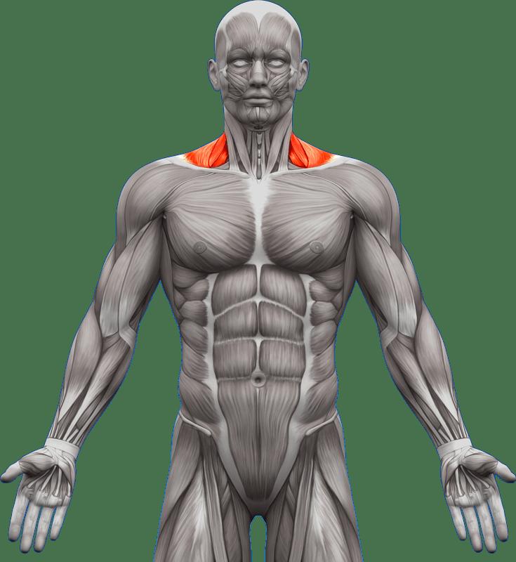 Mięśnie piersiowe | model 5