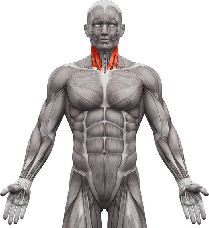 Mięśnie piersiowe | model 6