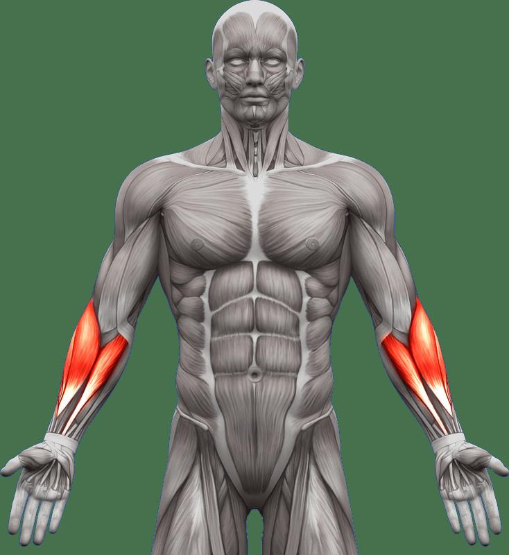 Mięśnie | ramiona przedramiona | model 1