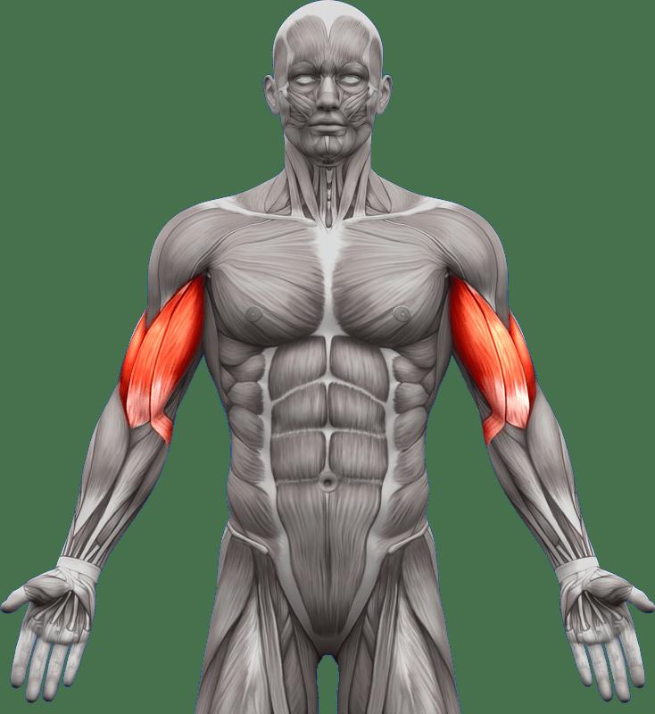 Mięśnie | ramiona przedramiona | model 2
