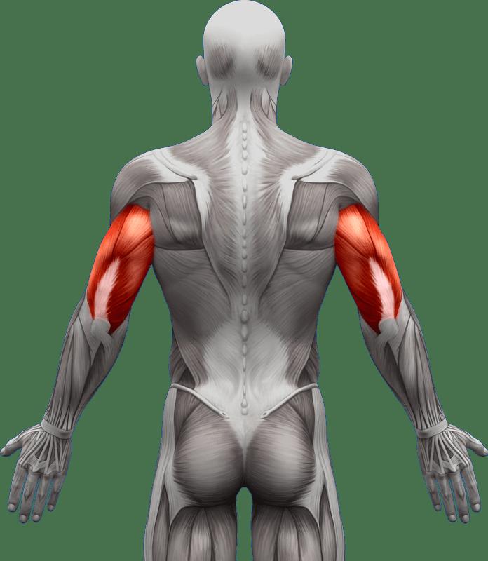 Mięśnie | ramiona przedramiona | model 3
