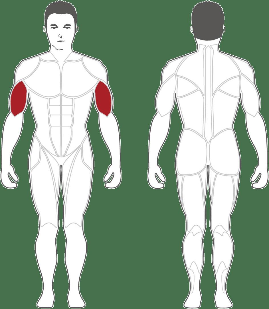 Aktywne mięśnie podczas treningu na CBC400 Steelflex